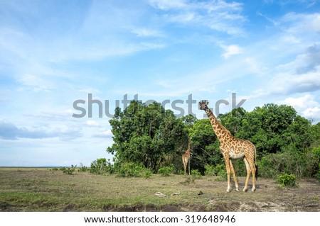 Giraffes around the savannah in Kenya, Africa - stock photo