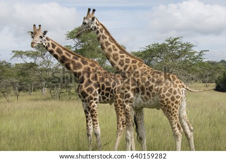 Giraffes at Lake Mburo