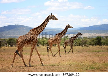 Giraffes at Mara Naboisho Conservancy - stock photo