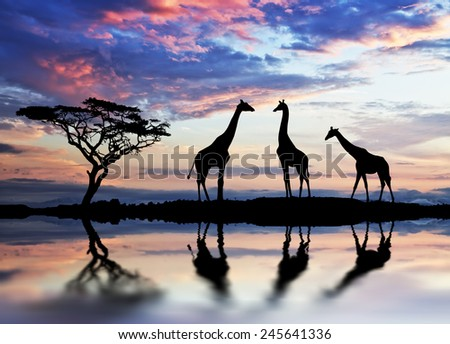 giraffes backlit at sunset - stock photo