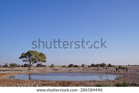 Giraffes drinking at a waterhole in Etosha National Park, Namibia  - stock photo