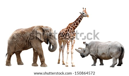giraffes , elephant and rhino  isolated on white  - stock photo