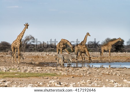 Giraffes (Giraffa camelopardalis angolensis) and Burchell's zebras (Equus quagga burchelli) at a waterhole in Etosha National Park, Namibia