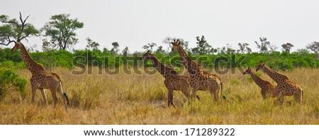 Giraffes (Giraffa camelopardalis) in Kruger National Park, South Africa - stock photo