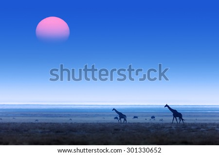 Giraffes (Giraffa Camelopardalis) walking over flat open plains with sunset. Etosha National Park (Namibia)