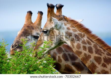 Giraffes grazing - stock photo