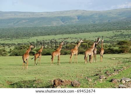 Giraffes herd in the african savannah - stock photo
