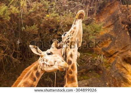 Giraffes in Cabarceno park cantabria spain - stock photo