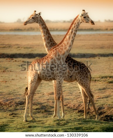 Giraffes in cross in Botswana - stock photo