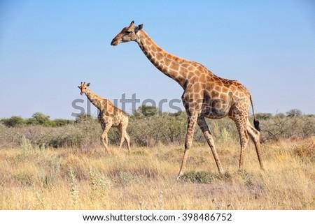 giraffes in etosha national park namibia - stock photo