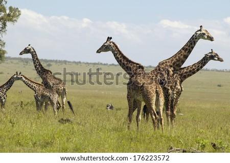 Giraffes in grasslands of Masai Mara near Little Governor's camp in Kenya, Africa - stock photo