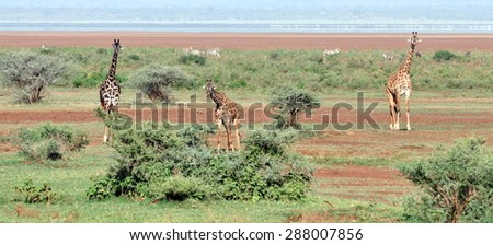 Giraffes in Serengeti - stock photo