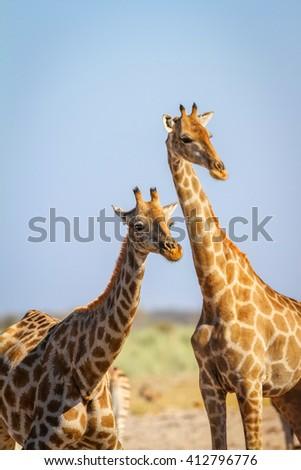 Giraffes in the dry savana of Namibia. Etosha National Park. - stock photo