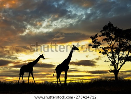 giraffes in the field of africa - stock photo