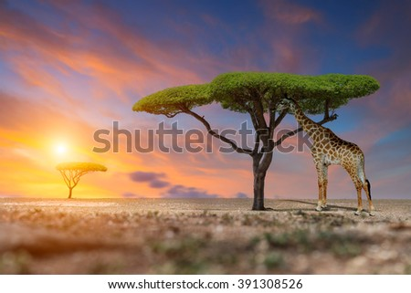 Giraffes in the savannah at sunset - stock photo