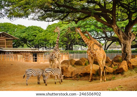 Giraffes in the zoo  - stock photo