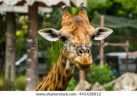Giraffes in the zoo ,selected focus at eyes. - stock photo