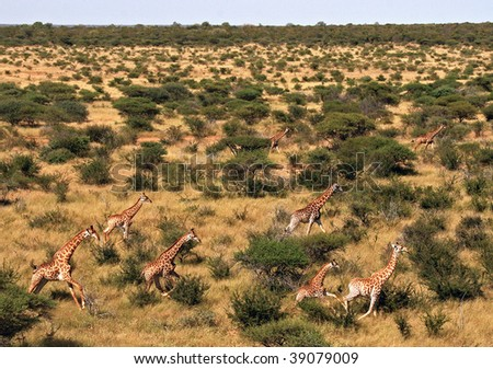 Giraffes running in the wild taken from the air - stock photo