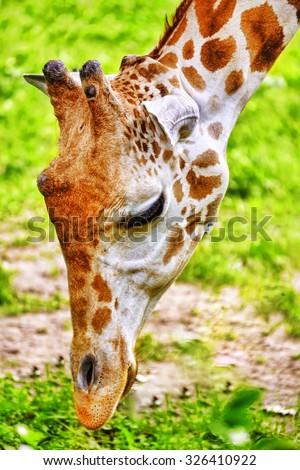 Giraffes their natural habitat. National Forest. - stock photo