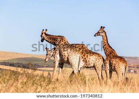 Giraffes Three Affections Wildlife Animals Three giraffes wildlife animals affections neck rub together in their grassland habit wilderness reserve terrain. - stock photo