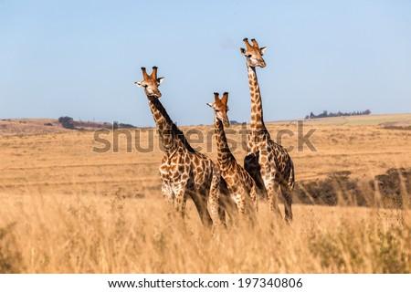 Giraffes Three Wildlife Animals Three giraffes wildlife animals together in their grassland habit wilderness reserve terrain. - stock photo
