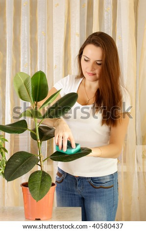 Girl cleaning ficus by wet sponge at room - stock photo