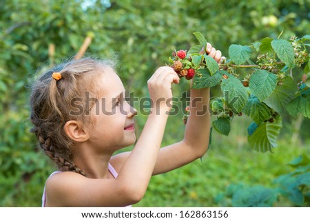 Girl eats raspberries from the bush. Little girl collects raspberries. - stock photo