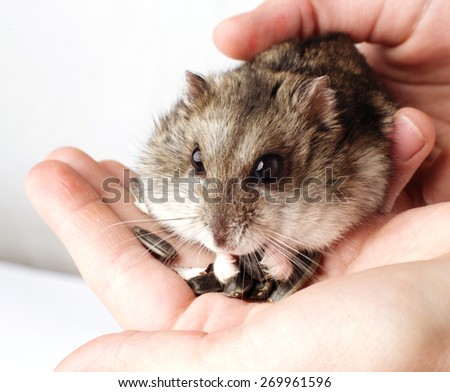 girl hands holding grey hamster. close up  - stock photo