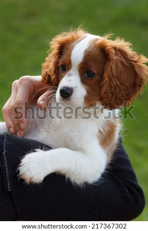 Girl holding a cute cavalier king charles spaniel on her shoulder - stock photo