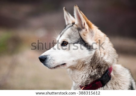Girl in the park their home with a dog Husky. The girl with the siberian husky. Delightful girl plays with a Siberian Husky. Girl walking with a hunting dog - the West Siberian husky. Close-up.  - stock photo