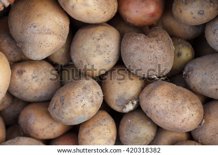 Girl planting potatoes in spring - stock photo