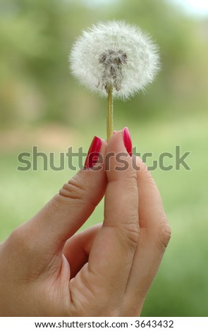Girl's hand with red nails holding dandelion - stock photo