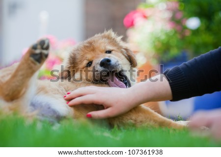 girl strokes a cute Elo puppy with her hand at the belly