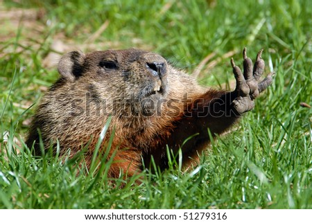 Give me five shows Groundhog - stock photo