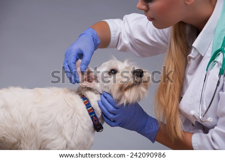 Giving him a thorough check-up. Cropped shot of a vet trying intently to examine ears of a terrier dog while standing against grey background