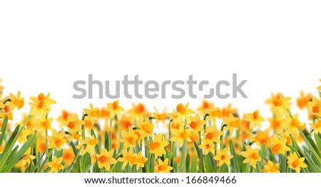 Glade daffodils. Isolated on white background. - stock photo