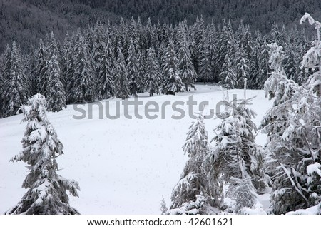 Glade in a winter fir forest - stock photo