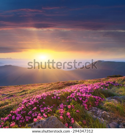 Glade of blossoming rhododendrons. Summer landscape with pink flowers. Beautiful sunrise. Carpathian Mountains, Ukraine - stock photo
