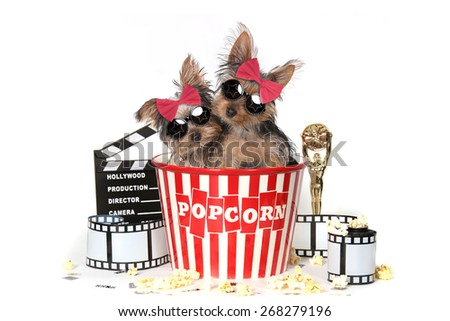 Glamorous Yorkshire Terrier Puppies Celebrating Hollywood Movies - stock photo