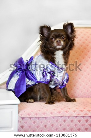 glamour little brown dog on pink sofa