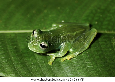 glass frog hyalinobatrachium in bolivian rain forest - stock photo