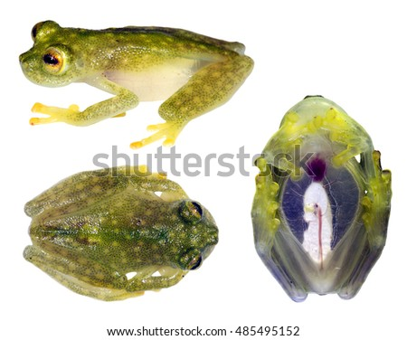 Glass Frog (Hyalinobatrachium sp.) in 3 poses, from Ecuador. Glass frogs have transparent undersides and their internal organs are visible