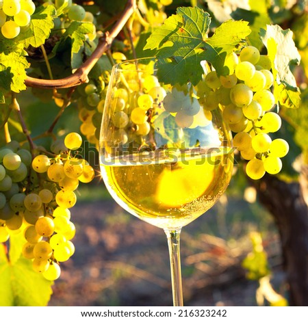 glass of white wine with fresh grapes on a vineyard, sundown on vineyard in autumn  - stock photo