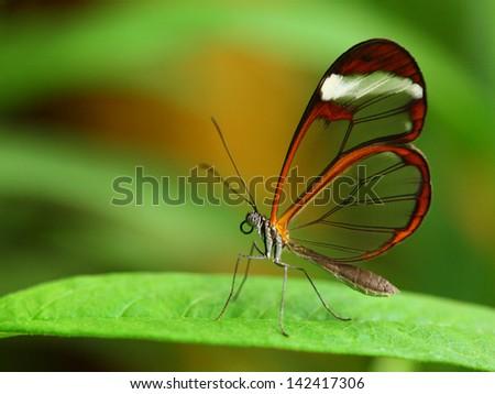 Glass wing butterfly (Greta Oto) - stock photo