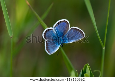 Glaucopsyche Lygdamus silvery blue butterfly on grass - stock photo