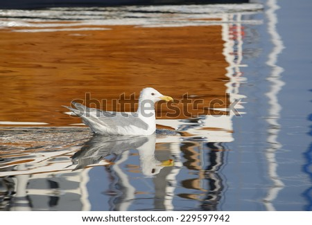 Glaucous-winged gull (Larus glaucescens) swimming in a marina in Seattle surrounded by colorful reflections. Drops of water fall from the gull's beak. - stock photo