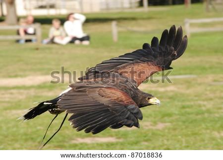 Gliding Harris Hawk - stock photo