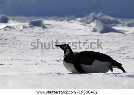 Gliding penguin in Antarctica - stock photo