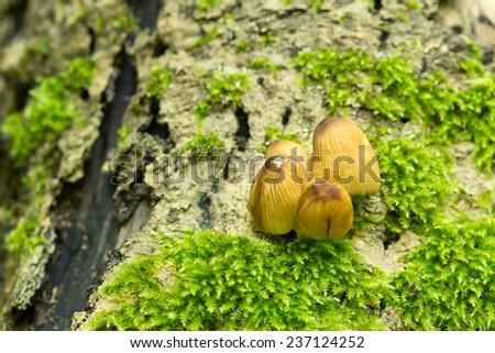 Glistering inky cap mushroom, Coprinellus micaceus - stock photo