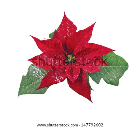 Glitter poinsettia on white background